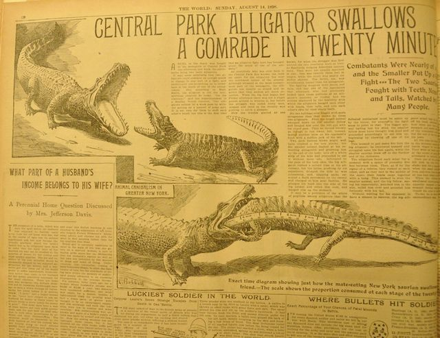 Alligator Swallows a Comrade
